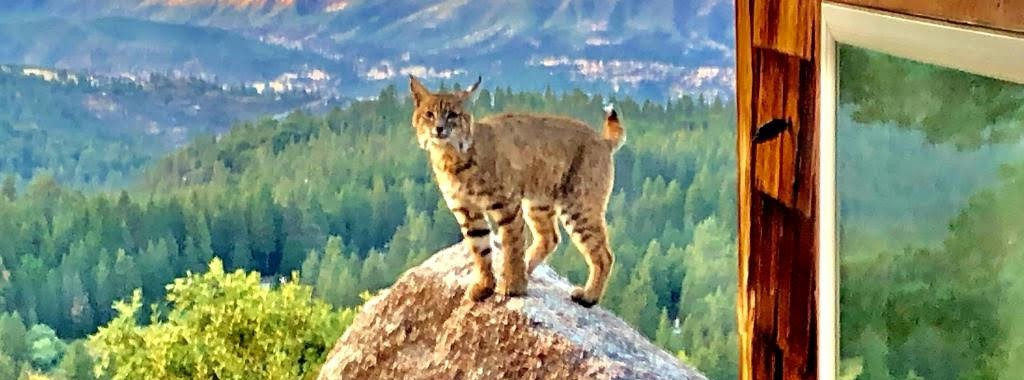 Our Baboo is a socal Bobcat